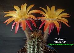 Tricho. cv 'Holland' ( Bloom pic #1 ) (mattslandscape) Tags: holland trichocereus klaus kornely bloom blooms bloomingcactus bloompictures flower floweringcactus flowers flickrechinopsisbloomgroup kakteen cactus cactusblooms cacti cactusflowers cactiblooms plant red yellow