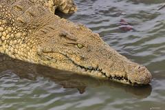 OCCHI VERDI    ----    GREEN EYES (Ezio Donati is ) Tags: animali animals rettili reptiles natura pericolo danger acqua water laguna lagoon africa costadavorio yamoussoukro areadeslacs
