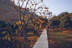 Yellow flower tree (dogslobber) Tags: yellow wat pa tam wua mae hong son thailand vipassana meditation retreat south east asia buddhism buddha