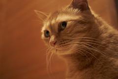 . (rampx) Tags: neko 猫 kinako