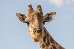 IMG_3677 (tregnier) Tags: namibia roadtrip africa travel desert animals sossusvlei leopard cheetah lion solitaire trip
