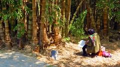 IMG_9053 - bamboo all'acquarello (molovate) Tags: orto botanico palermo tafme canon powershot sx40 hs giardino villa museo volate albero canne bambù verde unipa università legno foresta
