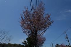 Falling Cherry Petals (sjrankin) Tags: 12may2018 edited yubari hokkaido japan ornamental sakura cherrytree cherryblossom spring flower tree petals flowerpetals falling breezy