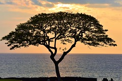 Tree at sunset (thomasgorman1) Tags: people shore ocean pacific nikon nature silhouette orange sunset horizon clouds island hawaii kona leaves