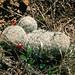 Mammilaria grahamii - Cactaceae