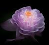 Low Key. (Omygodtom) Tags: macromondays existinglight tamron90mm macro dof d7100 may abstract wildflower flower flickr lowkey