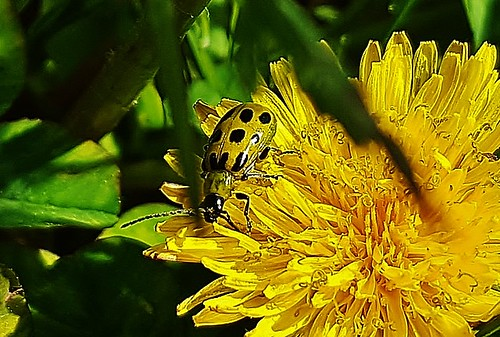 Spotted Cucumber Beetle 2018