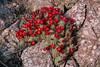 1804 Hedgehog Cactus (c.miles) Tags: coronadonationalforest echinocereus fr4475 hedgehogcactus santacatalinamountains