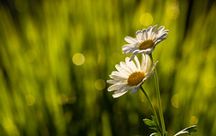 French Daisy ([-ChristiaN-]) Tags: frenchdaisy marguerite margerite blume bokeh grün gelb sommer frühling spring summer sonne beyondbokeh