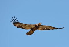 Eagle (Neal D) Tags: bc surrey crescentbeach blackiespit bird eagle baldeagle juvenile haliaeetusleucocephalus