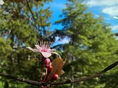WP_20180403_09_31_23_Raw (vale 83) Tags: blossom microsoft lumia 550 friends coloursplosion colourartaward