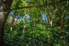 "a miniature bluebell wood in the heart of the city - along the River Don, Aberdeen, Aberdeenshire, Scotland (grumpybaldprof) Tags: ""bridgeofdon"" bridge ""donriver"" ""persleycastle"" river aberdeen scotland woodside industry ""papermill"" cotton machineryworks water sun sky clouds history scene city 1779 control gates birds reflections grandholm balgownie brig ""bigo'balgownie"" ""robertbruce"" ""jacob'sladder"" benholms lodging ""wallacetower"" ""seatonpark"" ""stmachar"" ""cottown"" ""blacknook"" alehouse newbridge trail bluebell bluebellwood spring bluesky blue sunshine ""aberdeencity"" ""granitecity"" grampian uk ""beautifulcity"" ""northeastscotland"" aberdeenshire canon 7d ""canon7d"" sigma 1020 1020mm f456 ""sigma1020mmf456dchsm"" ""wideangle"" ultrawide"