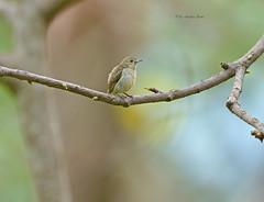 Tiny Little Beauty... (Anirban Sinha 80) Tags: nikon d610 fx 500mm f4 ed vrii n g bokeh bird flowerpecker perch nature