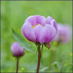 Rosa del bosque... (B.Rufo) Tags: d700 200mm ais