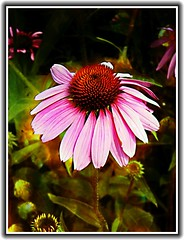 Sonnenberg Gardens & Mansion Historic Park ~ Canandaigua NY -  ConeFlower (Onasill ~ Bill Badzo) Tags: sonnenberg gardens mansion historic park canandaigua ny ontario county onasill nrhp queen anne architecture historical building japanese garden flower foral hdr finger lakes plant serene echinacea coneflower