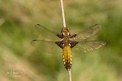 Broad-bodied chaser (Ian howells wildlife photography) Tags: ianhowells ianhowellswildlifephotography nature naturephotography nationalgeographic unitedkingdom wildlife wildlifephotography wild insect dragonfly broad bodied chaser