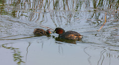 Little Gebe (acerman17) Tags: nature wildlife grebe little feeding chick reed