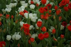 DSC07466- Tulipworks (oliveplum) Tags: tulipmania2018 gardensbythebay sony singapore bokeh leica60f28macro marinabay flowerdome