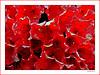 Azalee   _   Azalea (Badenfocus_1.000.000+ views_Thanks) Tags: azalee azalea hannover garten badenfocus fujifilmx20
