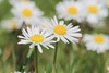Daisy (cattan2011) Tags: 英国 花 staffordshire burntwood england traveltuesday travelphotography travelbloggers flowers daisy travel naturelovers natureperfection naturephotography nature macrophoto macrophotography macro