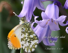 Hungry Orange Tip (Glenda Hall) Tags: butterfly orangetip nature bluebells macrobutterfly northernirelandnature northernireland countytyrone may2018 springishere spring may inthegarden castlecaulfield glendahall canon80d canon tamronmacrolens tamron macrolens 90mm naturephotography insects bibleverse bible text scripture gimp christian textinaphoto god everfollowthatwhichisgood thesssalonians