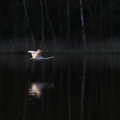 Swan flying (liisatuulia) Tags: heijastus joutsen swan laulujoutsen punkalaidun sammakkojärvi koivunlehti lake reflection spring