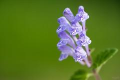 タツナミソウ Skullcap (takapata) Tags: sony sel90m28g ilce7m2 macro nature flower