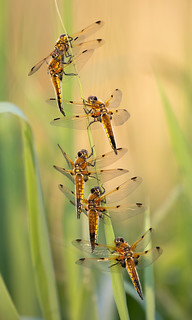 Four-spotted chasers