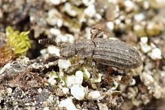 Orthocerus clavicornis (Radim Gabriš) Tags: coleoptera colydiidae zopheridae orthocerus orthocerusclavicornis beetle insect macro