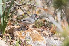 Balearic Warbler (Sylvia balearica) (Elipsix) Tags: cabrera balearicwarbler