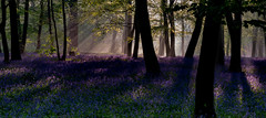Morning has broken (Aleem Yousaf) Tags: sunrise woods bluebells flowers trees landscape wanstead epping forest london may 2018 spring uk united kingdom nikon d800 wood woodlands light shadows sunlight sunrays pastel fog mist fields nature naturephotography nikor hill weather storm silhouette purple colorful farm rain new brown fun digital paisaje beautiful me dawn flora style nikkor arte d810 lines flickr leaves camera smile countryside scenic paysage pretty rural contrast park grass tree