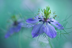 nigella 6170 (junjiaoyama) Tags: japan flower plant nigella blue spring macro bokeh