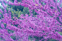 pink tree (mariola aga) Tags: spring tree branches blossoms flowers pink closeup judastree redbud lovetree saariysqualitypictures coth alittlebeauty coth5 fantasticnature