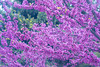 pink tree (mariola aga) Tags: spring tree branches blossoms flowers pink closeup judastree redbud lovetree saariysqualitypictures coth alittlebeauty coth5