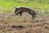 Flying High (coleenr2005) Tags: fox redfox redfoxkit kit nature wildlife pounce