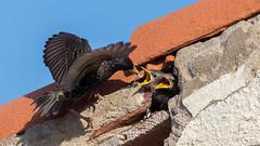 Etourneaux Sansonnet (gilbert.calatayud) Tags: commonstarling etourneausansonnet passériformes sturnidés sturnusvulgaris bird oiseau juvéniles portvendres cote vermeille