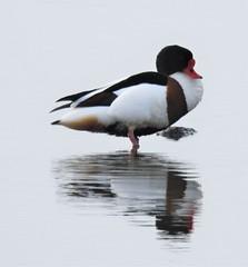 Shelduck Reflection - Cresswell (Gilli8888) Tags: nikon p900 coolpix northumberland cresswell cresswellponds water wetlands countryside birds waterbirds ducks shelduck reflection reflectionsonwater