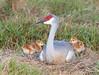 Sandhill Crane Nest (dubrick321) Tags: birds sandhillcrane sandhillcranes babysandhillcranes sandhillcranenest
