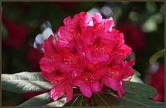 Du wirst rot, wenn ein ... ... (Kindergartenkinder 2018) Tags: rhododendron gruga grugapark essen kindergartenkinder