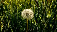 Dandelion clock (allybeag) Tags: spring crosby wildflowers dandelion seedhead dandelionclock meadow may light evening xperia phonepic