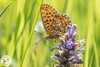 Pearl-Bordered Fritillary - Boloria euphrosyne (Lauren Tucker Photography) Tags: butterfly closeup macro nature pearlborderedfritillary wildlife worcester wyreforest boloria euphrosyne uk south west england colour summer spring 2018 may close up landscape view wild canon 7d slr camera photography photographer photograph photo image pic flower plant naturereserve copyright laurentuckerphotography allrightsreserved