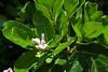 bud (ababhastopographer) Tags: okinawa kudakajima leaves bud garcinasubelliptica 沖縄 kudakaisland 久高島 フクギ 蕾 葉 離島