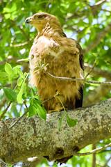 TAWNY EAGLE (stewartbentley46) Tags: africa eagle mkomazinp raptor tanzania tawnyeagle