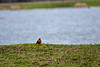 April Robin at the Lake (thatSandygirl) Tags: outdoor nature spring april americanrobin robin bird animal wildlife lake water grass grey green turdus migratorius