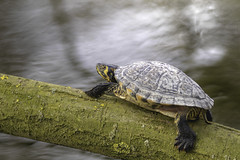 Sunbathing... (- A N D R E W -) Tags: spring terrapin animal pond lake primavera lago turtle tortuga log branch rama tree arbol wildlife uk shell water agua springtime sun sol light luz canon 80d tamron 150600mm