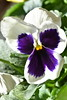Bloom (darletts56) Tags: bloom flower white purple pansy leaves green sun sunshine