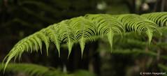 NZ silver fern IV   Explored 29.4.2018 (K. Haagestad) Tags: silverfern planr fern nature dof cyatheadealbata