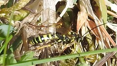 indet (4) (BSCG (Badenoch and Strathspey Conservation Group)) Tags: acm insect hymenoptera heathland sunshine april