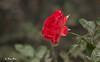SHF_6232_Rose (Tuan Râu) Tags: 1dmarkiii 14mm 100mm 135mm 1d 1dx 2470mm 2018 50mm 70200mm canon canon1d canoneos1dmarkiii canoneos1dx rose hoahồng flowers thựcvật dof bokeh tuanrau tuan tuấnrâu2018 râu httpswwwfacebookcomrautuan71
