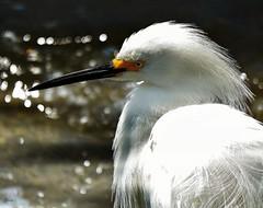 Slick- explore (beachpeepsrus) Tags: shore shorefront water white egret dawn light bird huntingtonbeachcalifornia harbor
